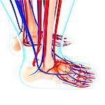 Foot cardiovascular system, computer artwork.