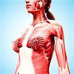 Female musculature, computer artwork.