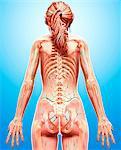 Female lymphatic system, computer artwork.
