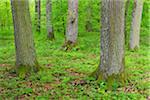 Oak Tree Forest in Spring, Bad Mergentheim, Baden Wurttemberg, Germany