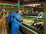 Sorting and packing of avocados, Burpack