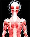 Human musculature, computer artwork.