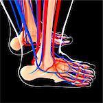 Human foot cardiovascular system, computer artwork.