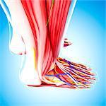 Human foot anatomy, computer artwork.