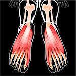 Human foot musculature, computer artwork.