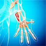Human arm musculature, computer artwork.