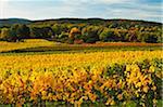 Vineyard Landscape, near Bad Duerkheim, German Wine Route, Rhineland-Palatinate, Germany