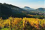 Vineyard Landscape, Castle Alt-Windeck and Riegel Village, Ortenau, Baden Wine Route, Baden-Wurttemberg, Germany
