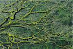 Old Mossy Oak Tree, Spessart, Bavaria, Germany