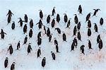 Adult chinstrap penguin (Pygoscelis antarctica), Half Moon Island, South Shetland Islands, Antarctica, Southern Ocean, Polar Regions