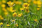 Buttercups, England