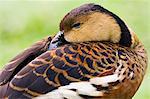 Wandering Whistling-duck, Queensland, Australia