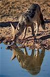 Black-backed jackal (silver-backed jackal) (Canis mesomelas) drinking, Kgalagadi Transfrontier Park, encompassing the former Kalahari Gemsbok National Park, South Africa, Africa
