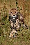 Cheetah (Acinonyx jubatus), Kruger National Park, South Africa, Africa