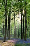 Bluebells and beech trees, West Woods, Marlborough, Wiltshire, England, United Kingdom, Europe