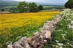 Buttercup meadow near Aysgarth in Wensleydale, Yorkshire Dales, Yorkshire, England, United Kingdom, Europe