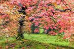 Fall Color Foliage of Lace Leaf Japanese Maple Tree Closeup