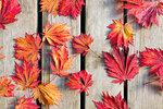 Japanese Maple Tree Leaves on Wood Deck Background in Fall Season