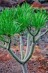 Plant on North-west coast of Tenerife near Punto Teno Lighthouse, Canarian Islands