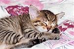Kitten - detail of the head of sleeping kitten