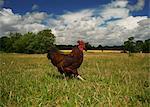 Free range chicken walking in field