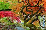 Japanese maple tree, Glacier National Park, Montana, USA