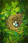 Close up of bird's eggs in nest