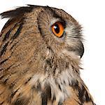 Eurasian Eagle-Owl (Bubo bubo) is a species of eagle owl