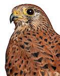 Common Kestrel (Falco tinnunculus) is a bird of prey