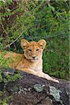 Portrait of Lion Cub Lying on Rock, Masai Mara National Reserve, Kenya