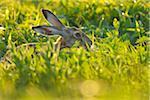European Brown Hare (Lepus europaeus) in Meadow, Tadten, Hansag, Burgenland, Austria