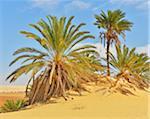 Date Palms in Desert, Matruh Governorate, Libyan Desert, Sahara Desert, Egypt, Africa