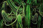 Cacti, close up