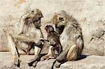 Monkey family, Masuma Pan, Hwange National Park, Zimbabwe