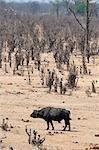 African buffalo among savannah, Masuma Pan, Hwange National Park, Zimbabwe