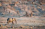 Elephant among desert landscape, Mandavhu Dam, Hwange National Park, Zimbabwe