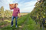 Grape harvest, young man carrying basket, Slavonia, Croatia