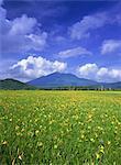 Daylily, Ozegahara, Gunma, Japan