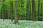 Ramsons (Allium ursinum) in European Beech (Fagus sylvatica) Forest in Spring, Hainich National Park, Thuringia, Germany