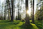 European Larch Trees (Larix decidua) Backlit by Sun, South Tyrol, Trentino Alto Adige, Dolomites, Italy