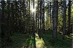 Sun through Trees in Forest, Auronzo, Province of Belluno, Veneto, Dolomites, Italy