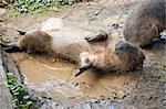 A capybara (Hydrochoerus hydrochaeris) on a bank