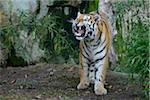 Aggressive Siberian Tiger (Panthera tigris altaica), Bavaria, Germany