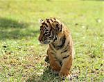 Bengal tiger, Yamaguchi Prefecture