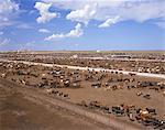 Grazing cows, Texas, America