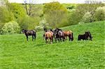 Many horses on a green field