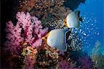 Orange face butterflyfish