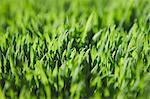 Close up of lush, green grass