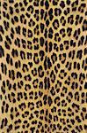 Leopard skin, Panthera pardus, Botswana