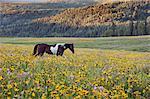 Horse in a field of wildflowers. Uinta Mountains, Utah.